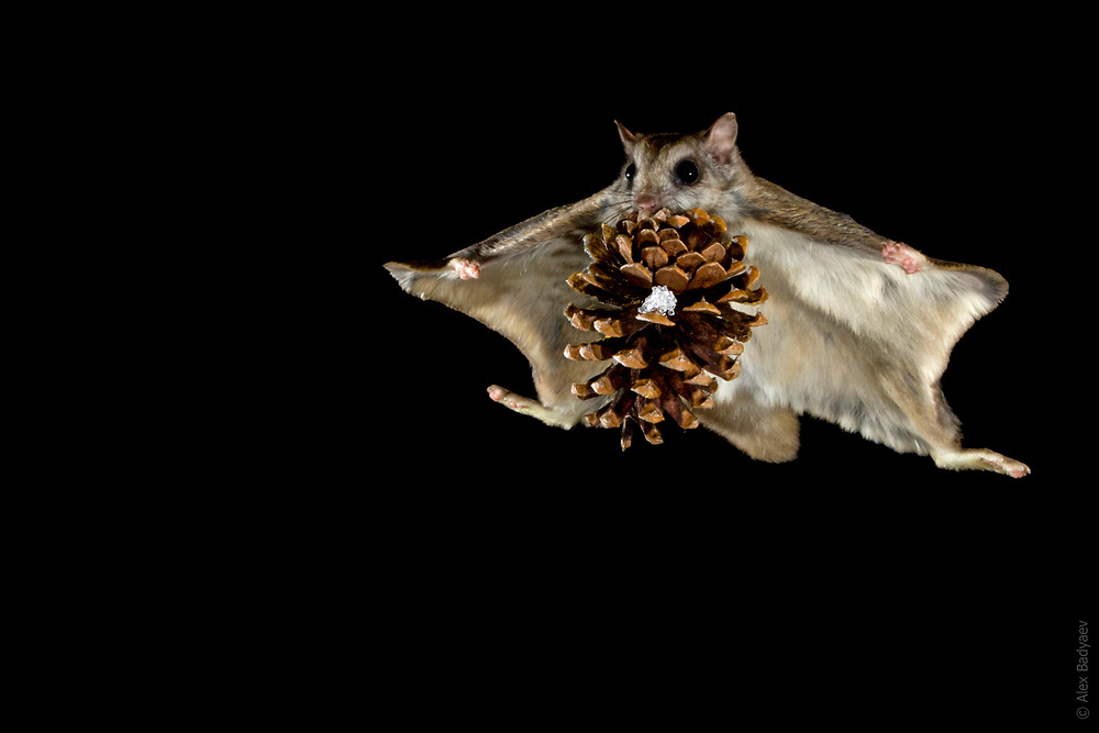 THE ESSENCE OF THE NORTHERN FLYING SQUIRREL | Overachiever male northern flying squirrel (Glaucomys sabrinus) moves a cone, half his weight, from one cache to another in the middle of night in winter forest near Seeley Lake, Montana. Several evolutionary innovations enable this species to generate significant lift even without powered flight. <br /> <br /> See Cirque de la Lune in PhotoStories for review of squirrels aerodynamic features.