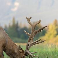 bull elk in velvet feeding in tall grass