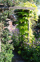 golden hop, Humulus lupulus growing up a wooden arbour
