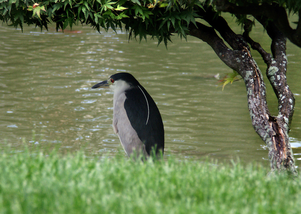 A night heron looking a lot like a penguin at the Japanese Gardens.