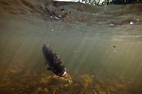 RAINBOW TROUT CAUGHT BY AN ANGLER AND SWIMMING UNDERWATER