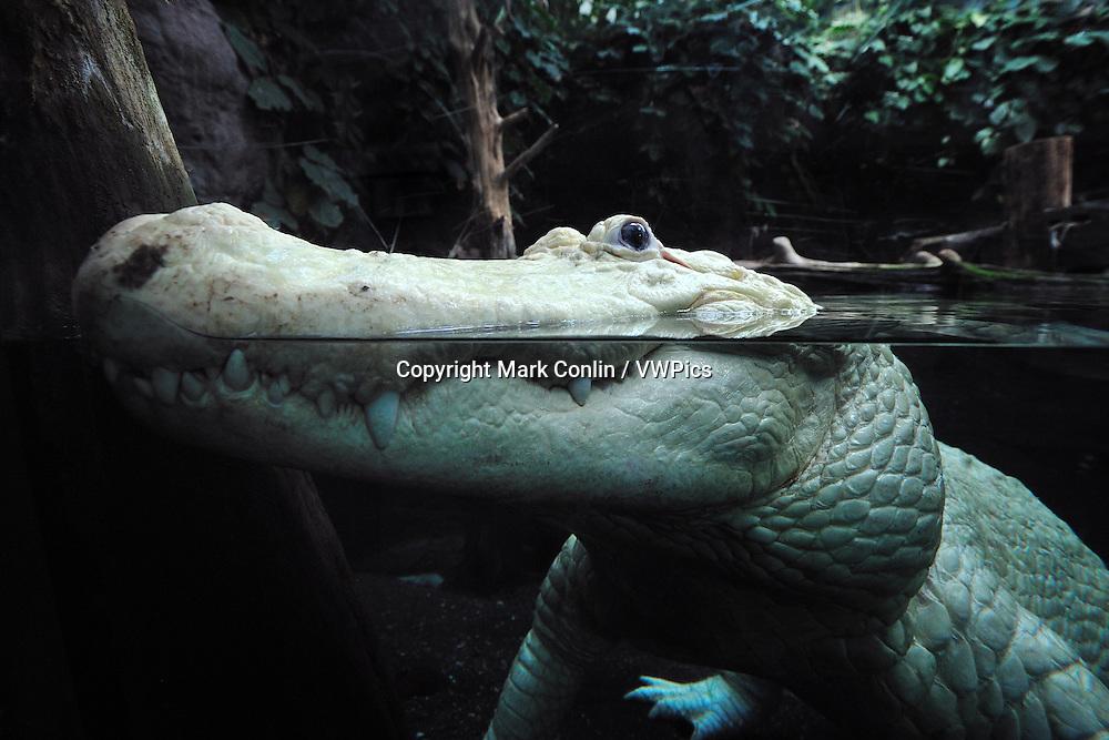 American Alligator, Alligator mississippiensis, captive, Florida