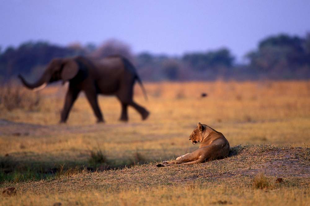 Africa, Botswana, Moremi Game Reserve, Lioness  (Panthera leo) and passing herd of Elephants along Khwai River at dusk