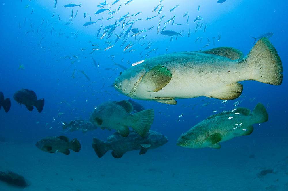 Spawning aggregation of Goliath Grouper (Epinephelus itajara) in Jupiter, FL.  This species, endangered and protected in the US,  is the largest grouper in the Atlantic, reaching nearly 8ft. and 800lbs.