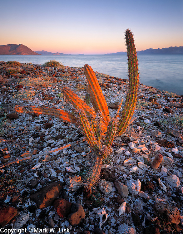 An old cactus rests on the shell and rock shoreline of the Sea of Cortez in Baja California, Mexico.