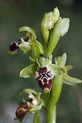 Israeli spring flower, Ophrys umbilicata Orchid March 2007