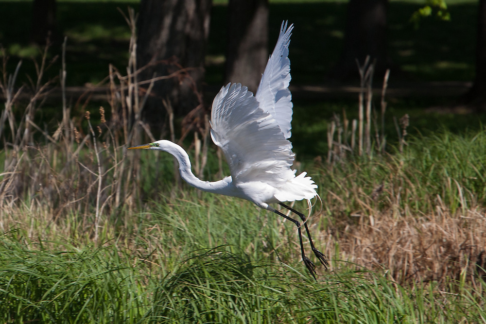 A Great Egret flys within a small restored pond habitat near Lake Nokomis