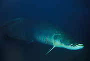 Arapaima - worlds largest fresh water fish<br /> Arapaima Gigas<br /> Amazon river, BRAZIL.  South America