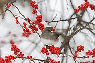 01569-01805 Dark-eyed Junco (Junco hyemalis) in Winterberry bush (Ilex verticillata) in winter Marion Co. IL