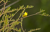 An American Goldfinch male perched on a branch next to a river soaking up a little warm sun.