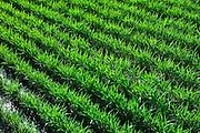 Verdant mugi in a fertile Aso field.