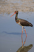 The Black Stork (Ciconia nigra) is a large wading bird in the stork family Ciconiidae. It is a widespread, but uncommon, species that breeds in the warmer parts of Europe (predominantly in central and eastern regions), across temperate Asia and Southern Africa. The Black Stork feeds on amphibians and insects.Photographed in Israel in March