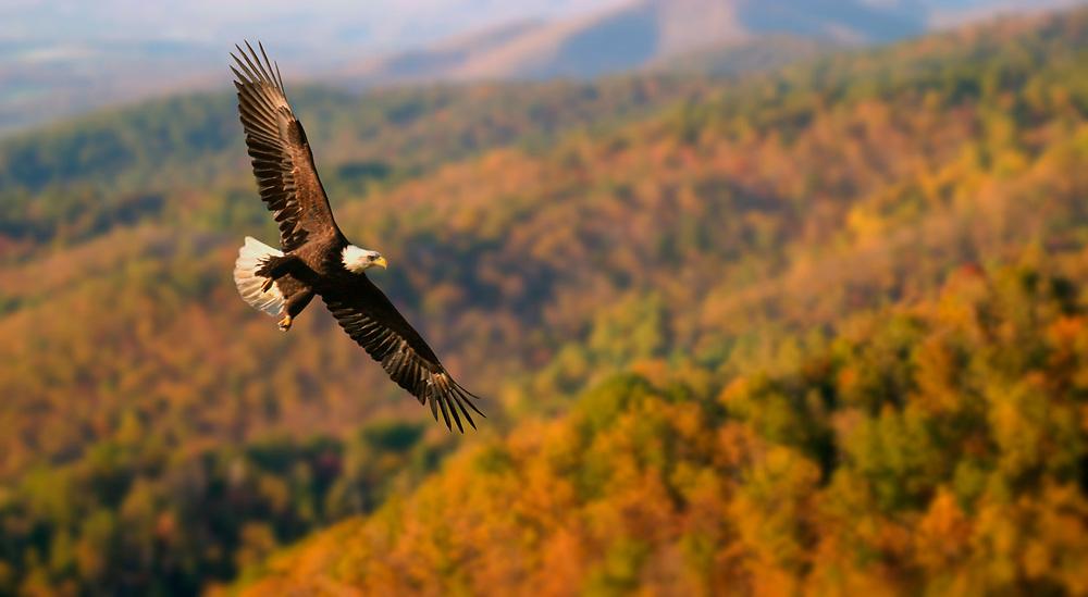 Bald Eagle over Blue Ridge Mountains