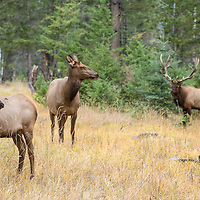 cow and bull elk in habitat