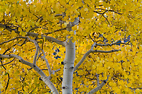 An up close view of a golden yellow aspen tree trunk with it's brightly colored leaves on display.
