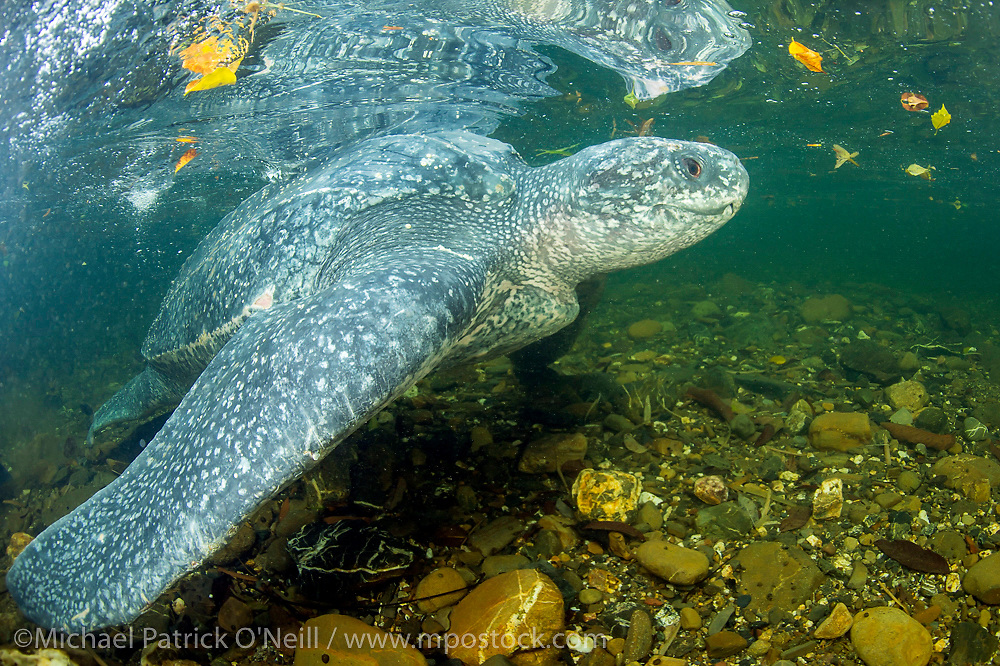 During my stay in Trinidad, one female Leatherback Sea Turtle, Dermochelys coriacea, became disoriented after nesting and entered a clearwater river instead of heading back into the ocean. Working with Grande Riviere Nature Tour Guide Association and Turtle Village Trust representatives, we were able to turn the female Leatherback around towards the beach. She left the creek, crawled over the hot sand and swam into the surf.