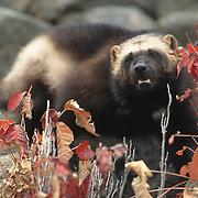 Wolverine, (Gulo gulo) Adult. Rocky mountains. Montana. Montana.  Captive Animal.