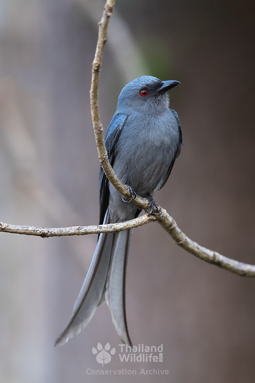 The ashy drongo (Dicrurus leucophaeus) is a species of bird in the drongo family Dicruridae. It is found widely distributed across South and Southeast Asia with several populations that vary in the shade of grey, migration patterns and in the size or presence of white patches around the eye.