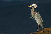 Great Blue Heron (Ardea herodias)<br /> Puerto Egas, Santiago Island<br /> Galapagos<br /> Ecuador<br /> South America