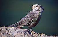 """Gray Jay (Perisoreus canadensis) 12"""" bird. White forehead; dark gray cap and short bill.  Varies geographically in darkness of gray upperparts and brightness of white underparts.  Found mostly in northern coniferous forest."""