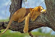 Sleeping lioness in acacia tree Serengeti National Park Tanzania