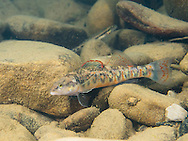 Arrow Darter<br />