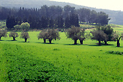 Olive tree plantation. Photographed in the Galilee, Israel in winter
