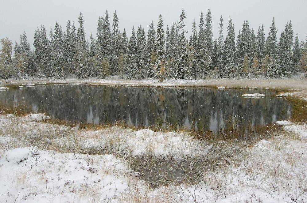 First snowfall in the boreal forest, virgin forest,  Blaikfjallets nature reserve, Vasterbotten, Lapland, Sweden