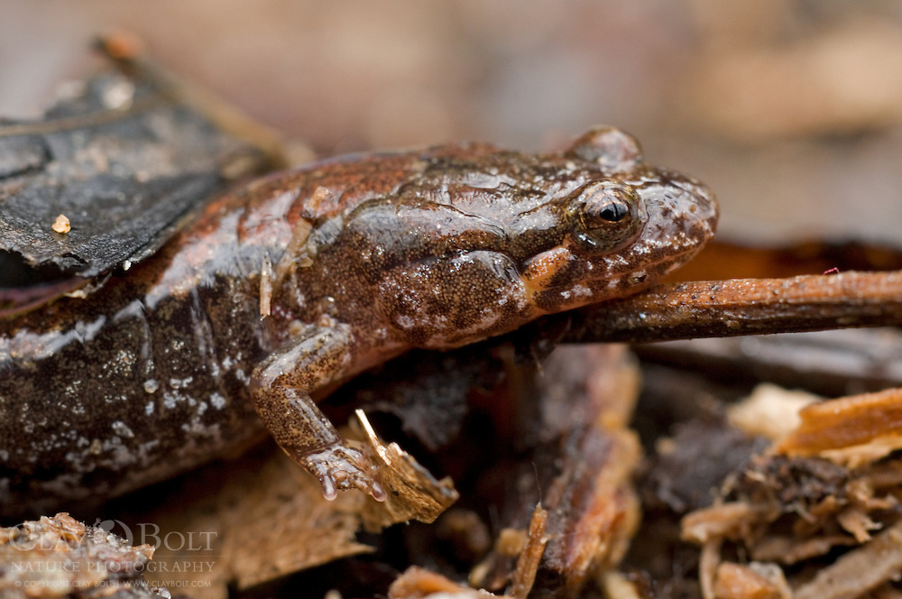 Mountain Dusky Salamanders are members of the plethodons and can be distinguished from the closely related Northern Dusky Salamander by their rounded tails.  The Northern Dusky Salamander has a more keeled tail.