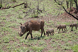 June 23, 2015 - Warthogs, female with piglets, Kruger National Park, South Africa  (Credit Image: © Tuns/DPA/ZUMA Wire)