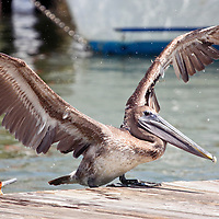 Brown Pelican landing on pier with wings spread