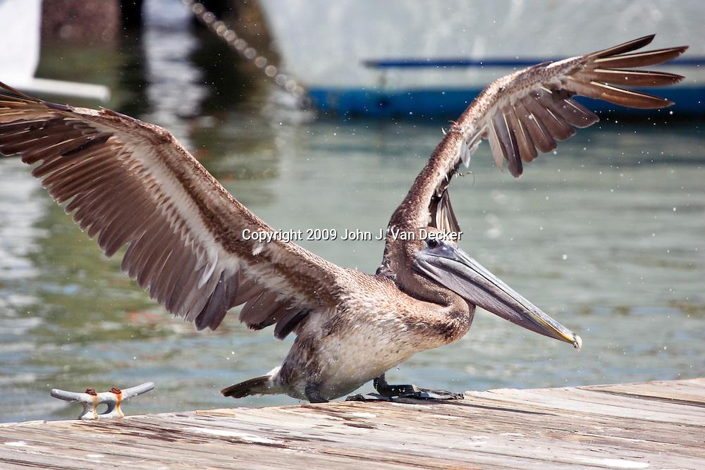 Brown Pelican landing on pier with wings spread