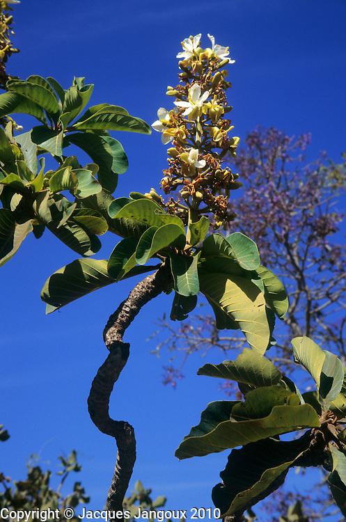 Salvertia convallariaeodora (family: Vochysiaceae); a contorted savanna tree; Minas Gerais State; Brazil (savanna is called cerrado in Brazil)