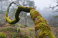 Moss covers a winding tree on the slopes of Mt. Doug, Saanich, Victoria, BC