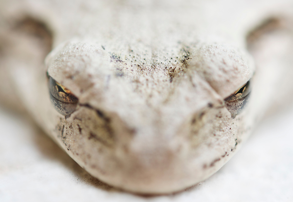 A Cuban tree frog changes colors to match the white roof it was sleeping on.