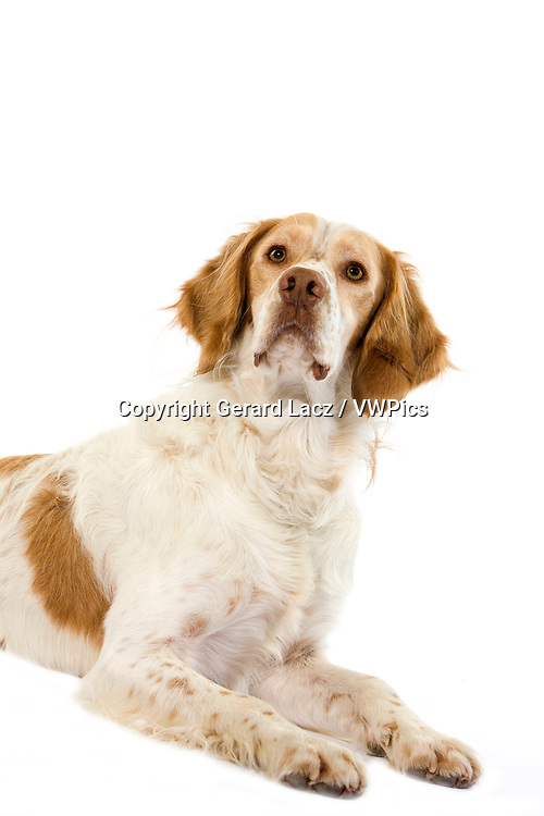 French Spaniel (Cinnamon Color), Male laying against White Background