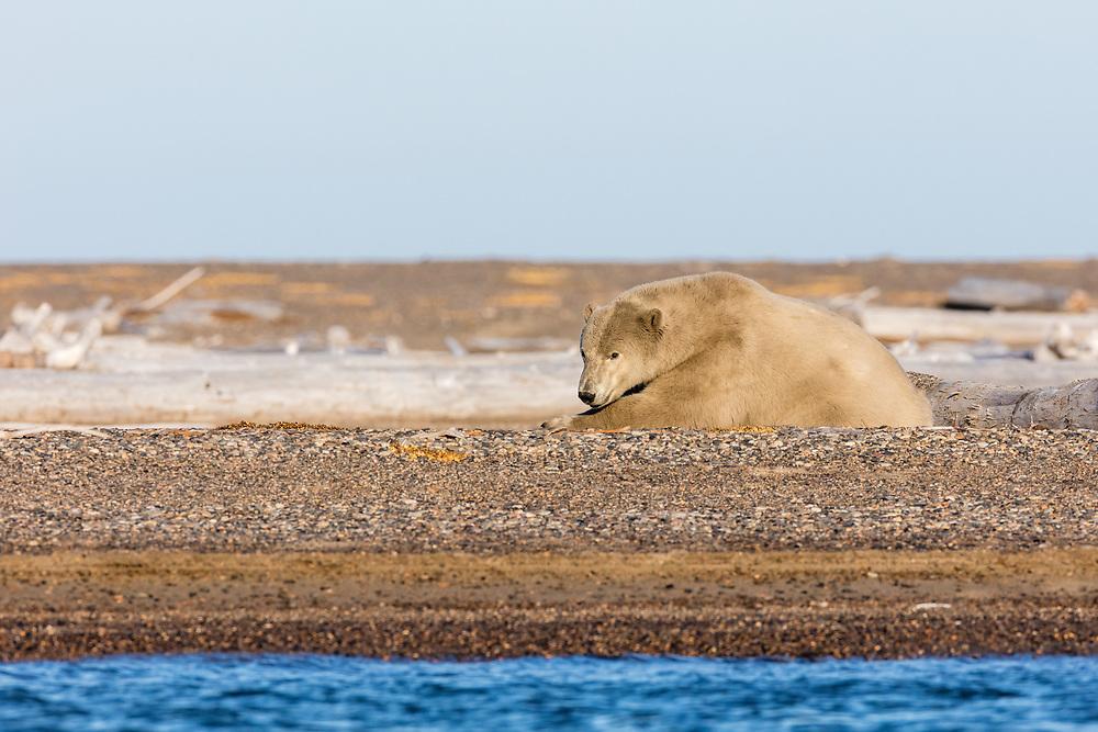 Polar bear (Ursus maritimus) resting on spit along Beaufort Sea on Barter Island in Kaktovik, Alaska. Autumn. Afternoon.