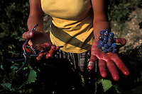 Harvester holding grapes - Languedoc, France - Photograph by Owen Frankenwine harvester holding grapes