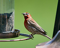 House Finch at the Bird Feeder. Image taken with a Nikon D5 camera and 600 mm f/4 VR lens.