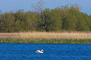 Mute swan Cygnus olor<br /> Presqu'ile Bay near Brighton<br /> Ontario<br /> Canada