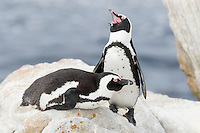 African Penguin pair resting on a pile of boulders during the late afternoon