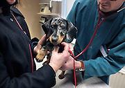 Nederland, Nijmegen, 7-3-2012Onze jonge hond wordt door de dierenarts onderzocht aan zijn hart. Foto: Flip Franssen/Hollandse Hoogte