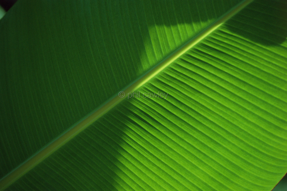 Banana leaf with shadow over half the image creating an abstract shape
