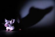 """Deutschland, DEU, Berlin, 2003: Labormaus, Stamm """"BalbC"""", bei Nacht mit einem langen Schatten im Rücken.   Germany, DEU, Berlin, 2003: Lab mouse, tribe """"Balbc"""", at night with long shadow in the back.  """