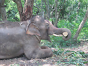 "EXCLUSIVE BY<br /> Nick York and Rebecca Bundhun<br /> <br /> <br /> A chained and abused Indian elephant that Sir Paul McCartney campaigned to save has finally been rescued, two years after efforts first began to secure his release.<br /> The 14-year-old elephant, called Sunder, on Friday arrived at his new home: a 50 hectare green leafy sanctuary in Bangalore in south India.<br /> He travelled a gruelling 400 miles by truck from Kolhapur in India  - where he had been chained and beaten in an old poultry shed – to get to his new home. Now, he is receiving care for a serious leg wound that resulted from recent maltreatment and once he has adjusted and recovered he will be allowed to roam free in the rescue centre in the company of thirteen other elephants, according to People for the Ethical Treatment of Animals (PETA).<br /> A campaign backed by former Beatle Sir Paul was launched by the animal rights group PETA  two years ago in an effort free Sunder from the Hindu temple where he was being kept at that time, after it emerged that the elephant was being beaten by his handler. As a result of the abuse, the elephant had a number of scars and eye injury, as well as a hole in his ear. Sir Paul wrote a letter to Indian government officials in July 2012.  ""I have seen photographs of young Sunder … put in chains with spikes,"" he wrote. ""Years of his life have been ruined by keeping him and abusing him in this way and enough is enough.""<br /> The former Baywatch star Pamela Anderson also supported the campaign.<br /> Sunder spent five years chained at the Jyotiba Temple in Kolhapur, after he was donated to it by a local politician. Elephants are sometimes kept at Hindu temples in Indian to offer blessings to visitors. Soon after the campaign's launch, the elephant was moved to a nearby disused poultry shed owned by the politician who donated him to the temple, against the orders of authorities that he should be sent to a sanctuary. There the terrible treatment of the elephant continued.<br /> During an undercover inves"