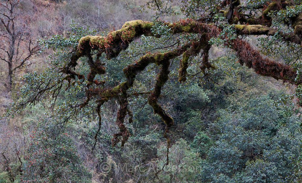 Moss-covered oak trees in the Langtang region of Nepal