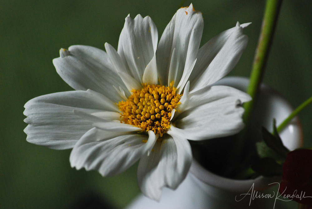 A fresh white cosmo bloom is dusted with bright yellow pollen, displayed in a white vase