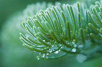 Dew on Spruce Needles