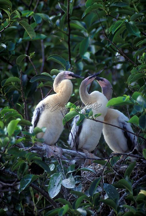 Juvenile Anhinga birds by nest, Everglades NP, Florida USA..Anhinga anhinga