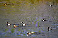 Goldeneye ducks in pond at Marias Pass in Glacier National Park, Montana, USA